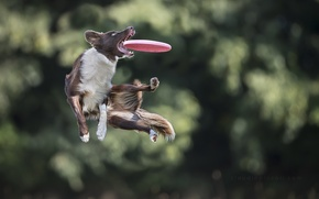 Picture jump, the game, dog, dog, disk, catches, Border Collie, Aport, Frisbee