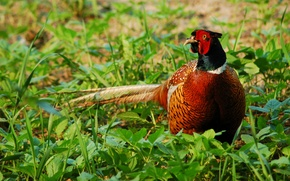 Picture field, nature, bird, pheasant