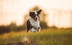 Picture mood, dog, running, flight, Australian shepherd, Aussie