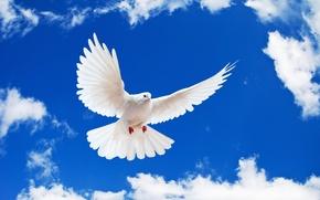 Picture dove, the sky, white, white dove