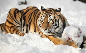 Picture cat, look, snow, tiger, the ball, Amur