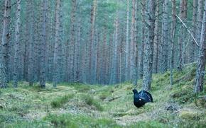 Wallpaper pine, grouse, forest, bird, glade