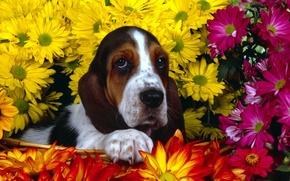 Picture flowers, Bassett, Dog