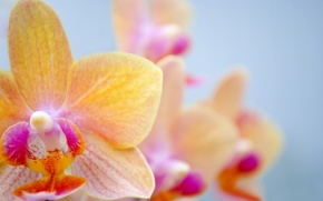 Picture flower, Orchid, orchid