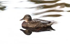 Picture water, bird, duck