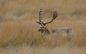 Wallpaper dry, grass, horns, maral, deer