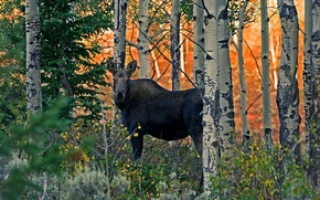 Picture forest, trees, nature, grove, moose
