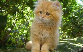 Picture fluffy, red, kitty, ginger kitten