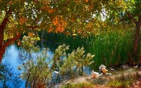 Picture autumn, trees, birds, lake, pond