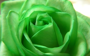 Wallpaper flowers, green, rose, beauty, petals, flower, Rose, green, beautiful nature wallpapers