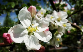 Picture flower, spring, Apple
