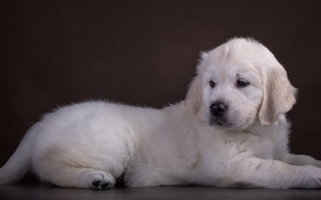 Picture white, puppy, Retriever