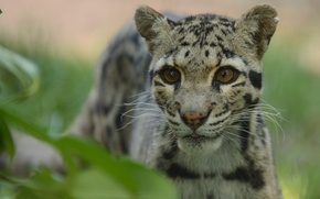Picture look, predator, clouded leopard, © Anne-Marie Kalus