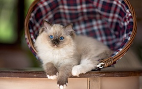 Picture cat, look, kitty, table, cell, fluffy, lies, face, basket, Siamese, blue-eyed, ragdoll, sweetie