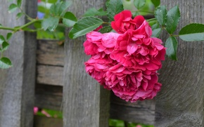 Picture Board, the fence, rose, briar