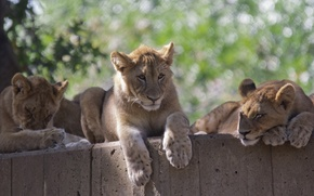 Picture stay, family, wild cats, the cubs, trio, zoo, cubs