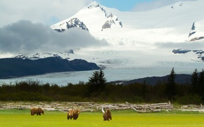 Picture landscape, mountains, bears, Alaska, Alaska, grizzly, Grizzly Bears