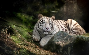 Picture white, tiger, predator, blue-eyed