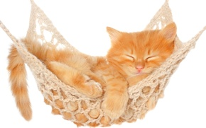 Picture cat, cat, stay, sleep, hammock, white background, kitty