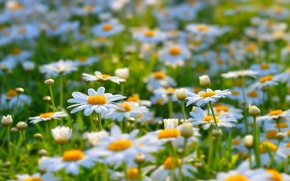 Picture summer, flowers, nature, glade, chamomile