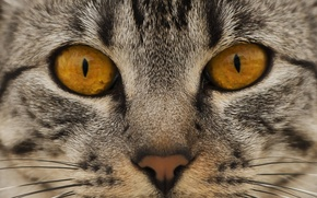 Picture cat, eyes, cat, look, face, nose