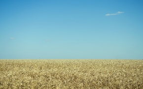 Picture wheat, field, serenity, blue sky