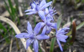 Picture spring, blue, Scilla, zweni