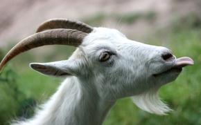Picture language, horns, beard, goat