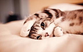 Picture cat, cat, funny, lazy, lazy, Kote