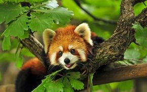 Wallpaper Red, branches, Panda, tree
