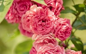 Picture roses, petals, rose Bush