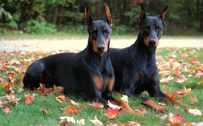 Picture leaves, brothers, park, autumn, Dogs, Animals, Dobermans, Two, Doberman