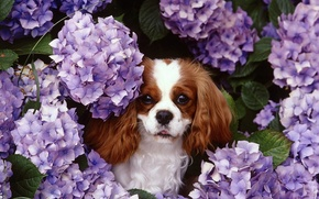 Picture nature, dog, lilac