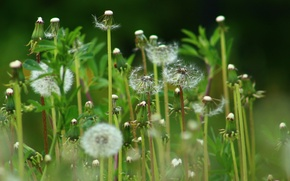 Picture flowers, dandelion, bright
