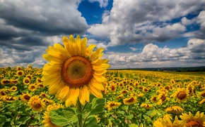 Picture field, clouds, sunflowers