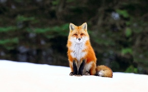 Picture Fox, Fox, snow, forest, winter
