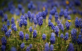 Picture field, flowers, wildflowers, Muscari, twigs, hyacinths, blue flowers, yellow flowers