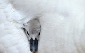 Picture head, beak, white Swan, White swan
