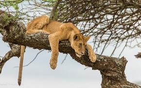 Picture tree, Leo, lion, curiosity