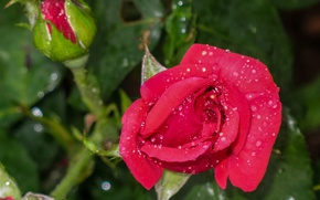 Picture drops, macro, rose, buds