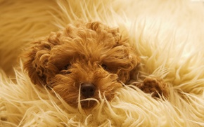 Picture dog, wool, blanket