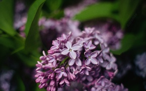 Picture macro, flowers, sheet, tenderness, spring, lilac, dobraatebe