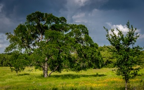 Picture greens, forest, summer, the sky, grass, trees, flowers, clouds, glade, USA, Sunny, Austin, Texas