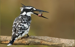 Picture bird, food, fish, branch, colorful, Kingfisher, catch