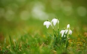 Wallpaper white, grass, drops, flowers, Rosa, spring, blur, buds, primrose, Snowdrops