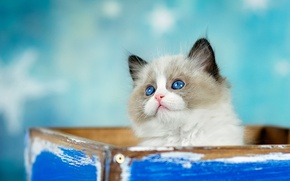 Picture cat, look, kitty, background, box, blue, fluffy, box, face, cutie, blue-eyed, sticks, ragdoll
