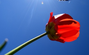 Picture the sky, red, Tulip