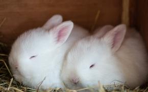 Picture fluffy, white, rabbits, albinos