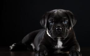 Wallpaper puppy, cane Corso, handsome
