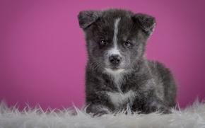 Picture grey, background, pink, dog, puppy, lies, fur, cutie, Akita inu, Akita